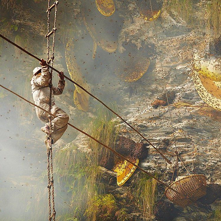 """Qúa trình thu thập """"mật ong điên"""", Himalayas, Nepal"""