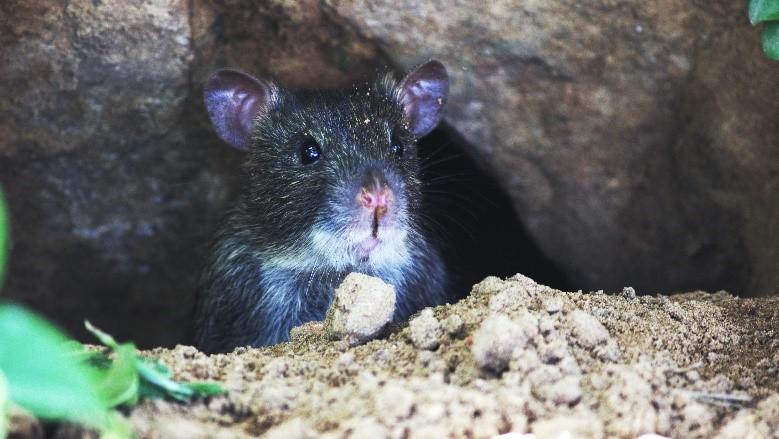 Chuyện về lão chuột già